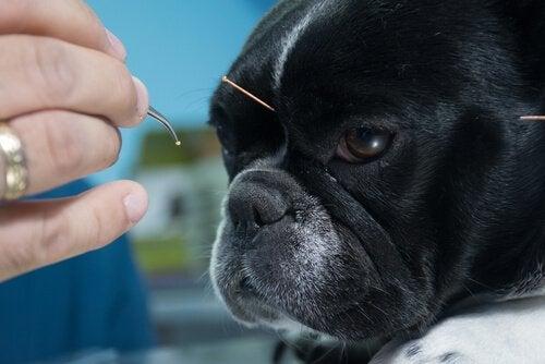 Een hond krijgt acupunctuur