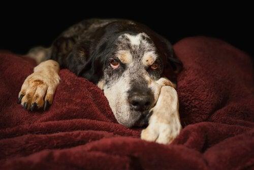 Een oudere hond slaapt op zijn kussen