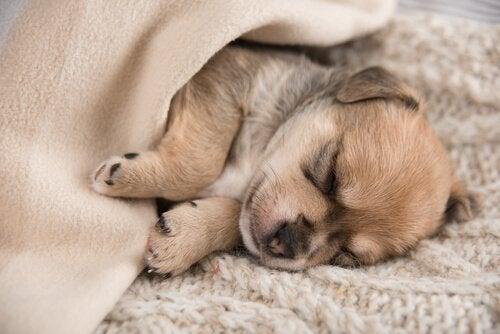 Een puppy slaapt onder een deken