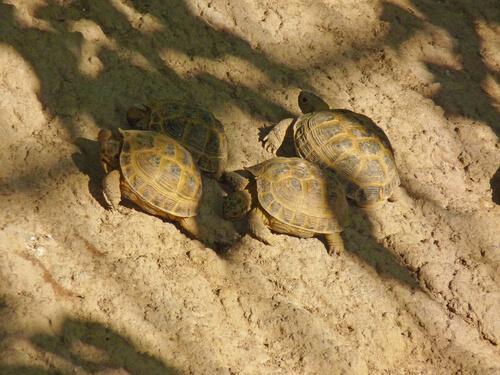 Kun je meerdere vierteenlandschildpadden houden?