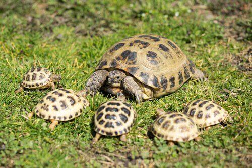 Een vierteenschildpad met jongen