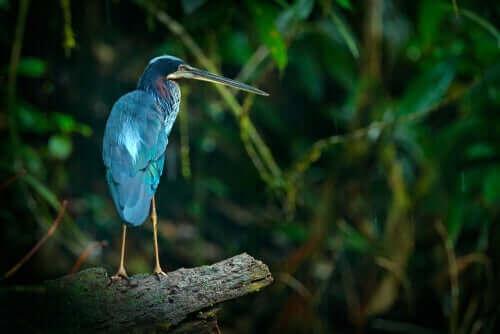 Agamireiger met blauwe veren
