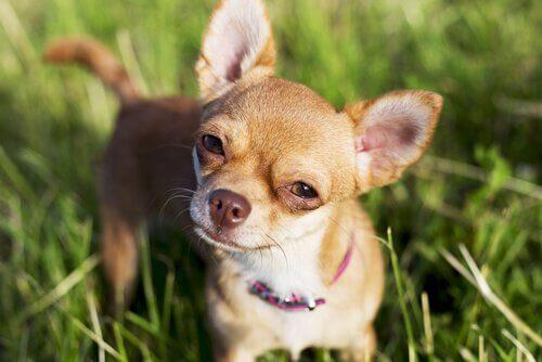 Kleine hond in het gras