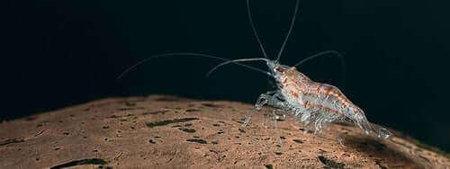 Krill zwemt over de bodem van de oceaan