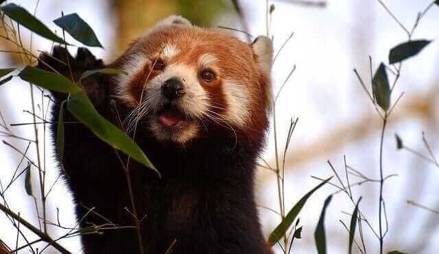 Panda eet blaadjes
