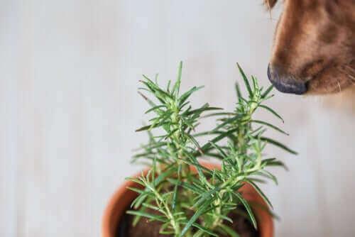 Hond ruikt aan rozemarijn