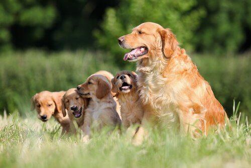 Golden retriever en haar pups