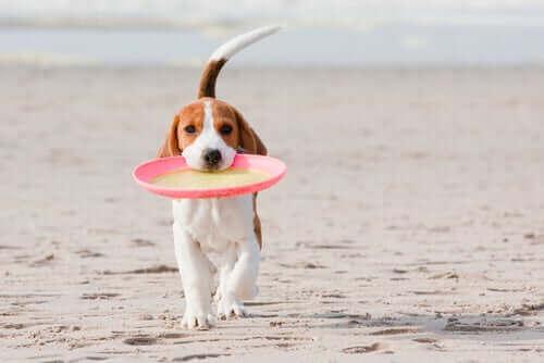Hond met met een frisbee op het strand