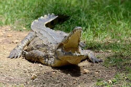 Krokodil met opengesperde bek