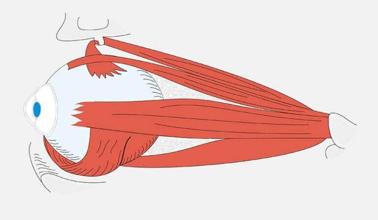 De spieren verbonden met de oogbol