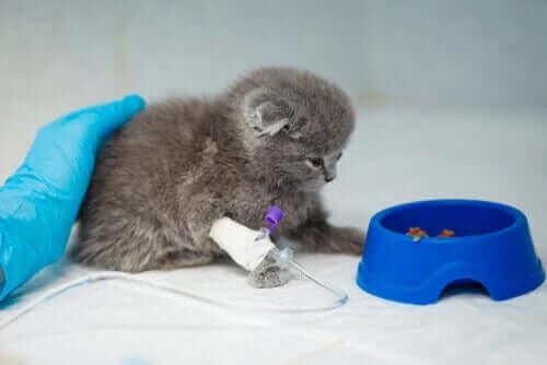 Kitten met een infuus