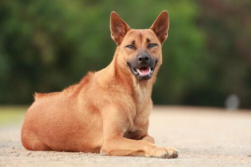 Een bruine Thai ridgebackdog