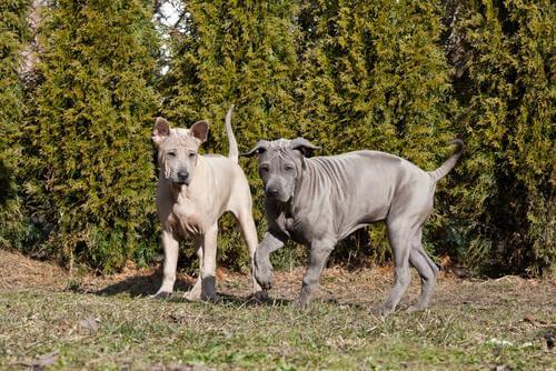 Twee blauwe Thai ridgebackdogs