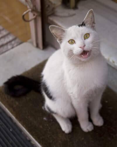 Een miauwende kat
