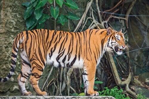 Een Chinese tijger in zijn omgeving