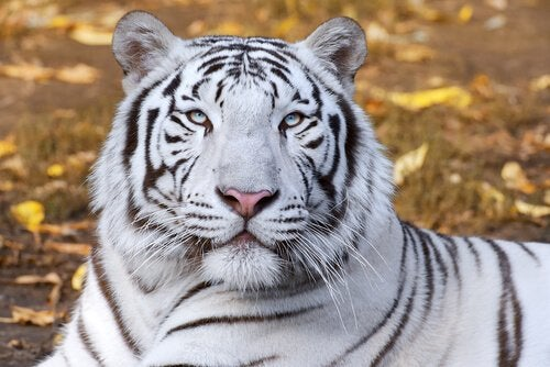 Het hoofd van een witte tijger