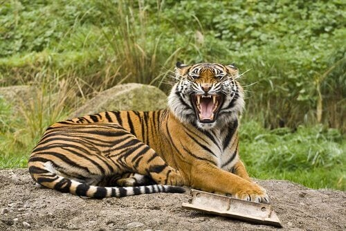 De vijf meestvoorkomende ondersoorten van tijgers