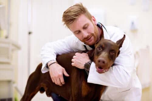 Hond met buikpijn bij de dierenarts