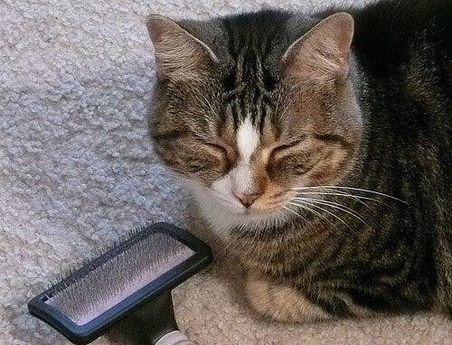 Hoe de vacht van je kat te borstelen