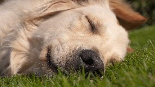 Hond ligt te slapen op het gras