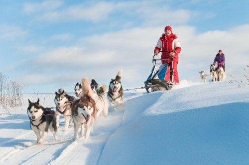 Husky's trekken een slee in de sneeuw