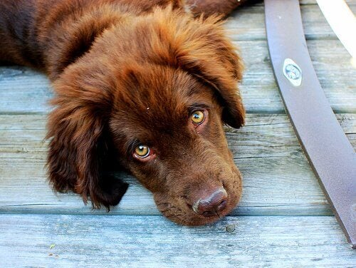 Een bruine hond ligt op de grond