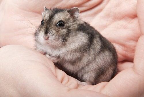 Hamster in iemands handen