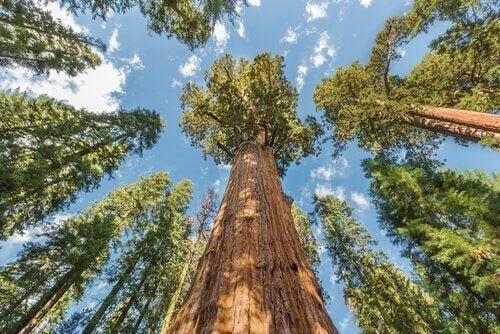 Mammoetboom en de lucht