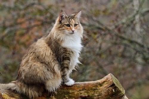 Noorse boskat op een boomstam