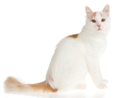 Turkse van een van de grootste kattenrassen
