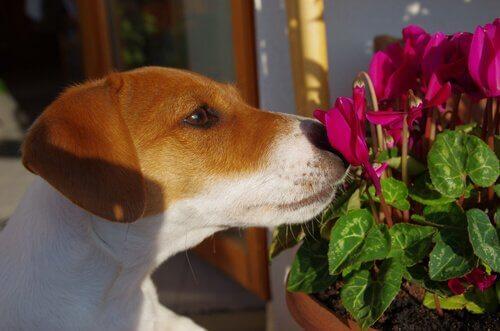 Hond ruikt aan bloemen