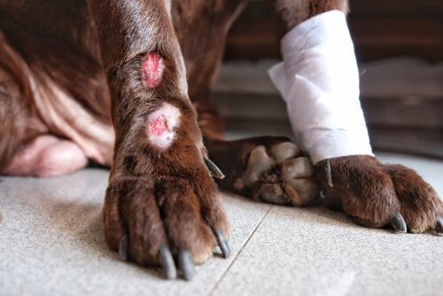 Hondenpoot met verband