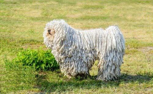 Een van de honden die met uitsterven worden bedreigd