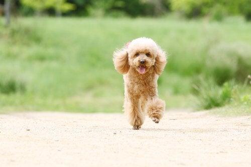 Kleine hondenrassen die mank lopen