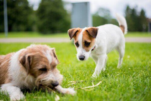 Een hond benadert een andere hond die in het gras ligt
