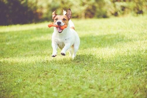 Een hond rent met speelgoed in zijn bek over een veld