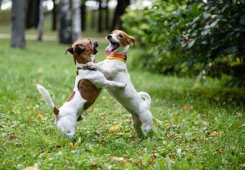 Twee honden spelen enthousiast met elkaar