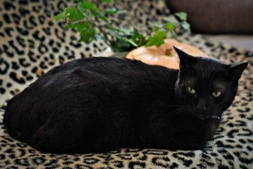 Een zwarte kat ligt op de bank