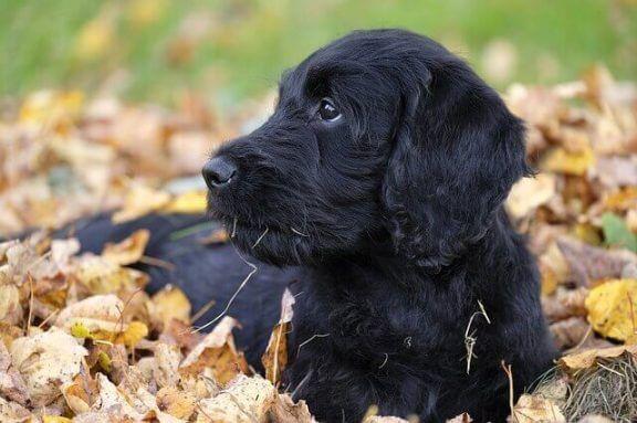 Zwarte hond speelt in de herfstblaadjes