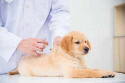 Een puppy bij de dierenarts krijgt een vaccinatie