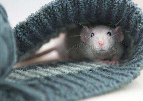 Een tamme rat ligt in een gebreide sjaal