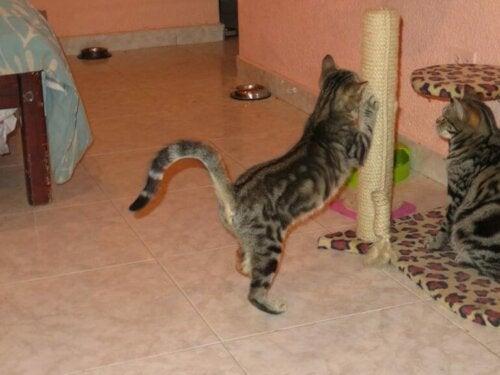 Een sokoke krabt aan haar krabpaal
