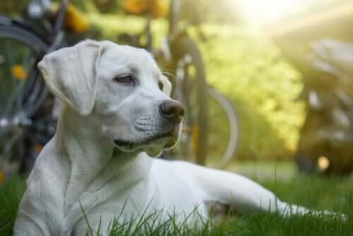 Een witte hond in het gras
