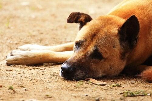 Een oudere hond ligt op het zand