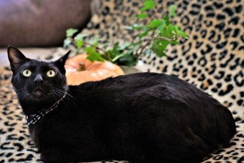 Een zwarte Japanse bobtail