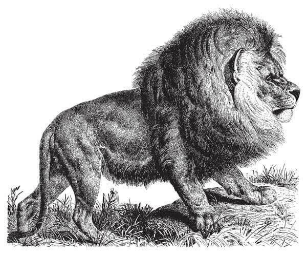 Tekening van een Kaapse leeuw