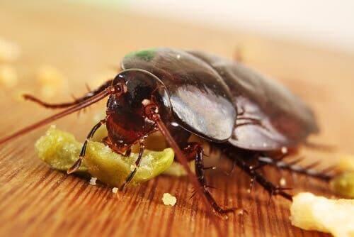 Kakkerlak is iets aan het eten