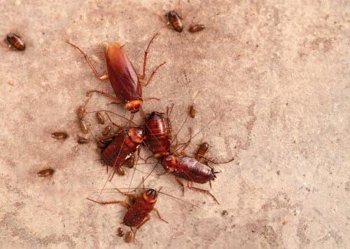 Familie van kakkerlakken
