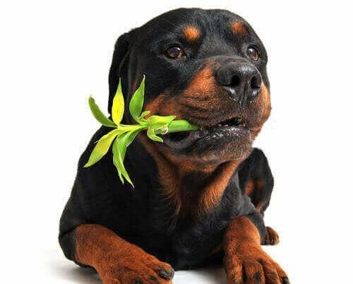Rottweiler kauwt op een plant