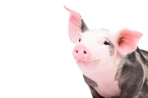 Een blij varken